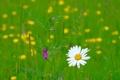 Картинка луг, поле, ромашка, трава, лепестки