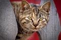 Картинка кот, взгляд, морда
