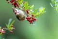 Картинка ягоды, птица, ветка, клюв