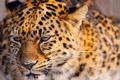 Картинка пятнистое, животное, рыжее, красивое, леопард