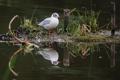 Картинка островок, чайка, трава, птица, отражение, водоем