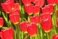 Картинка листья, тюльпан, сад, луг, лепестки, краски, парк
