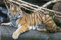Картинка амурский тигр, ©Tambako The Jaguar, кошка, бревно