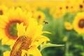 Картинка пчела, желтые, зелень, размытость, подсолнух, цветок, природа