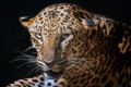 Картинка leopard, look, black, fur, colors