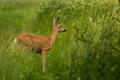Картинка трава, олень, олененок