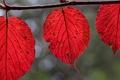 Картинка листья, осень, багрянец, ветка, природа