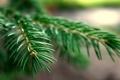 Картинка зелень, макро, природа, иглы, ель, Елка, иголка
