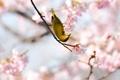 Картинка весна, сакура, птичка, жёлтая, сетки