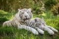 Картинка белый тигр, отдых, трава, кошка, пара