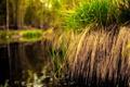 Картинка трава, вода, болото