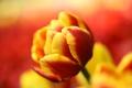Картинка макро, природа, тюльпан, лепестки, бутон