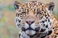 Картинка взгляд, морда, хищник, ягуар