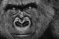 Картинка горилла, обезьяна, взгляд