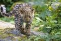 Картинка ©Tambako The Jaguar, детёныш, котёнок, амурский, кошка, взгляд, леопард