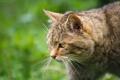 Картинка профиль, морда, дикий, лесной кот, кошка