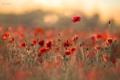 Картинка поле, цветы, блики, маки, боке
