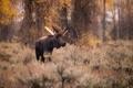 Картинка осень, лес, рога, профиль, лось