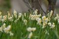 Картинка весна, полянка, meadow, цветение, нарциссы, daffodils, flowering