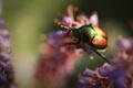Картинка насекомое, жук, цветы