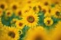 Картинка подсолнухи, Цветы, размытие