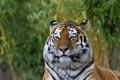 Картинка амурский, морда, тигр, кошка