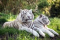Картинка природа, фон, тигры