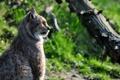 Картинка кошка, профиль, рысь