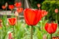 Картинка поле, природа, лепестки, стебель, луг, тюльпаны