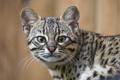 Картинка кот, кошка Жоффруа, морда, ©Tambako The Jaguar, взгляд