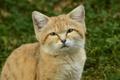 Картинка взгляд, котёнок, барханная кошка, sand cat