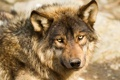 Картинка взгляд, морда, волк, хищник