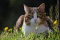 Картинка кошка, трава, весна, одуванчики