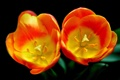Картинка макро, лепестки, тюльпан, пара