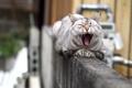 Картинка кошка, морда, пасть