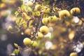 Картинка ветки, природа, яблоки