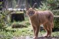 Картинка хищник, дикая кошка, каракал, степная рысь
