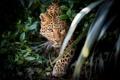 Картинка морда, заросли, хищник, засада, леопард, дикая кошка