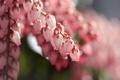 Картинка цветочки, розовые, ветки, куст, цветы