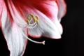 Картинка белый, цветок, макро, красный, лилия, лепестки, тёмный фон