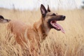 Картинка друг, поле, взгляд, собака