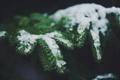 Картинка снег, ветки, иголки