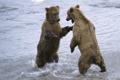 Картинка вода, снег, медведи, парочка