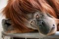Картинка взгляд, обезьяна, примат, орангутан