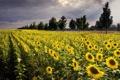 Картинка поле, подсолнухи, пейзаж