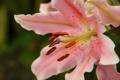 Картинка цветок, розовая, лилия, лепестки, крапинка