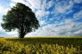 Картинка поле, лето, дерево, рапс