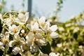 Картинка листья, цветы, природа, растения, лепестки, груша, цветки