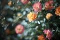 Картинка цветы, розы, сад, клумба