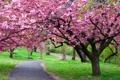 Картинка дорога, пейзаж, природа, вишня, путь, цветение, road